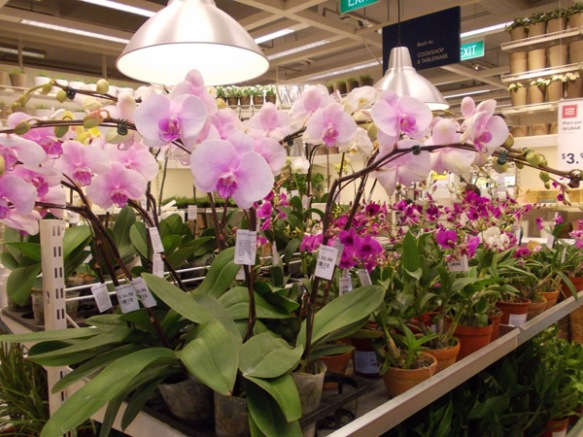 Orchids at Ikea - 17 April 2014 Thursday