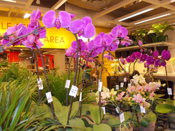 Purple Orchids at Ikea - 17 April 2014 Thursday