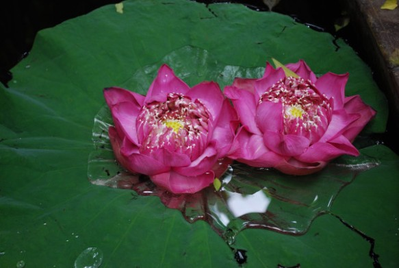 'Lotus Love' by Halim