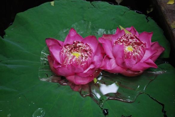 'Lotus Love' by Halim